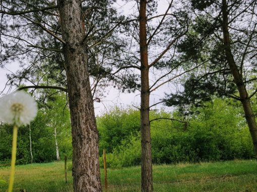 Pusteblume und Wald in Hobrechtsfelde