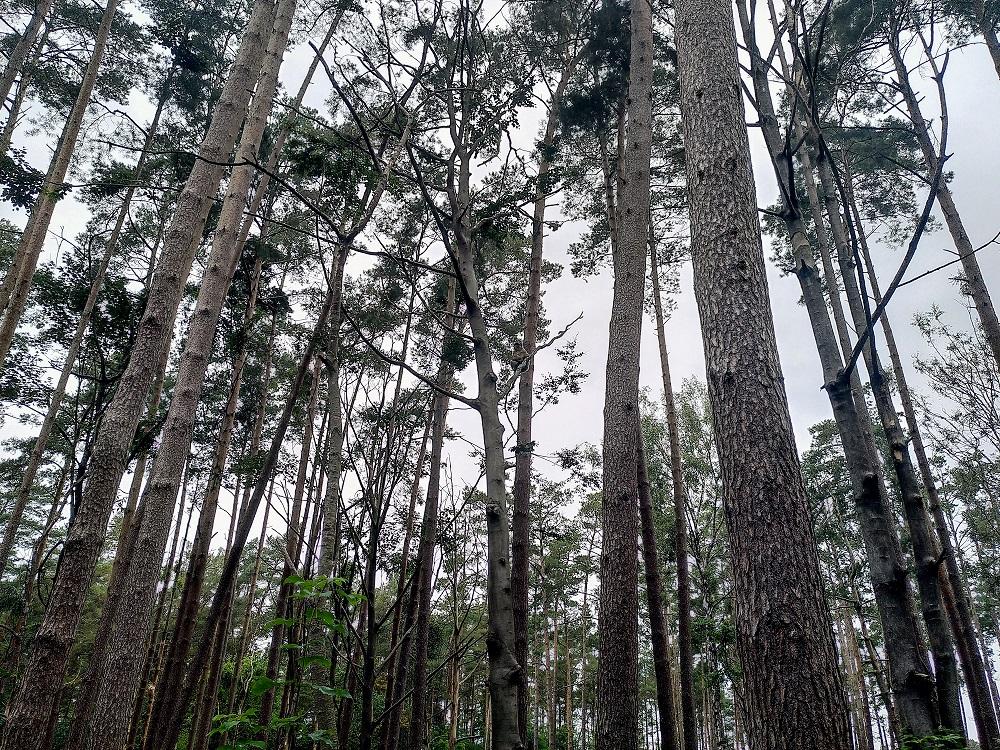 Berberaffen in Bäumen.