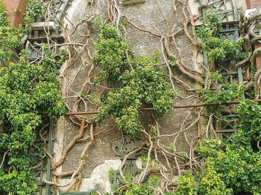 Ziegelmauer mit Weinreben